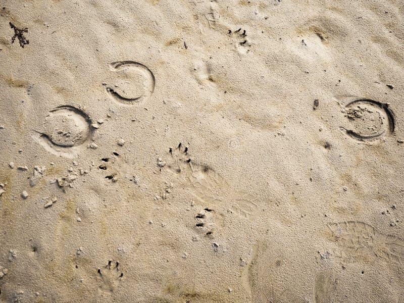 Impressões em uma areia deixada por cavalo, pássaros, humanos, cães, Densidade do conceito de criaturas vivas neste mundo fotos de stock
