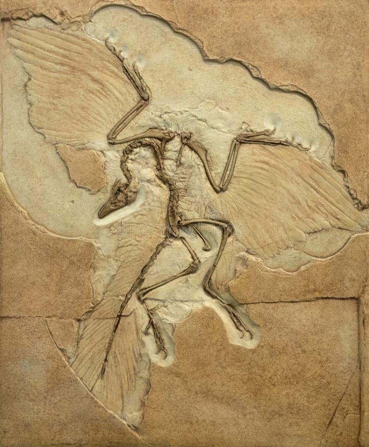 Impression fossile de l'archéoptéryx montrant les os et les plumes photographie stock