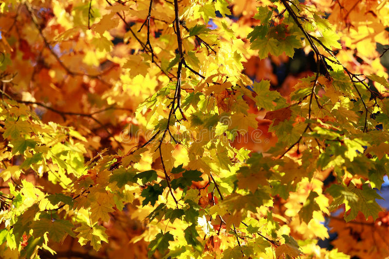 Impression of leaves and autumn colors. Gollden maple trees royalty free stock image