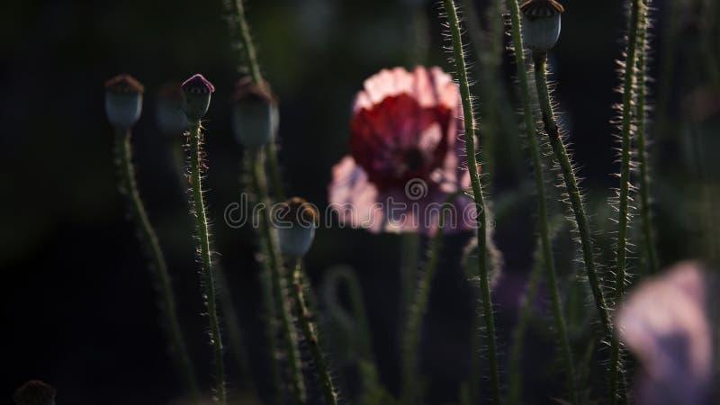 Impressione di una fragranza rosa Papavero, movimenti delicati nella brezza Delicato, dentelli nell'area del giardino Papavero, p fotografie stock