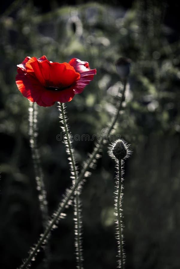 Impressione di una fragranza rossa Papavero, movimenti delicati nella brezza Delicato, rosso nell'area del giardino Papavero, par immagine stock