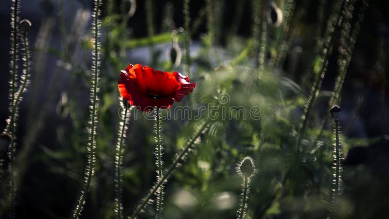 Impressione di una fragranza rossa Papavero, movimenti delicati nella brezza Delicato, rosso nell'area del giardino Papavero, par immagini stock