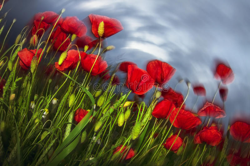Impressionism and expressionism in photography. Night photos of blooming field with poppies in a storm full of expression, expressive of anxiety and concern, a stock image