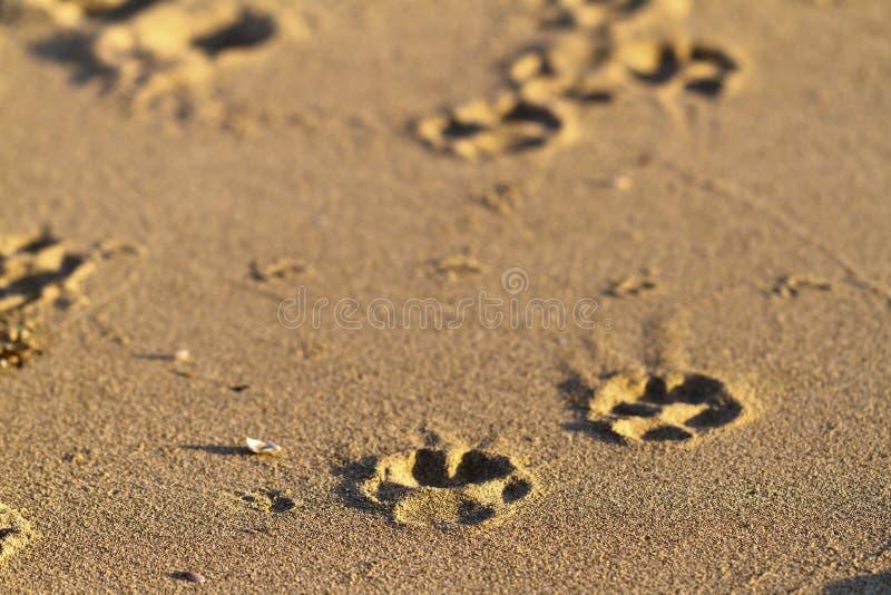 Impressions de patte dans le sable   images libres de droits