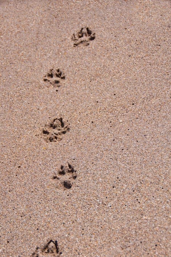 Impressions de patte de crabot dans le sable. images libres de droits