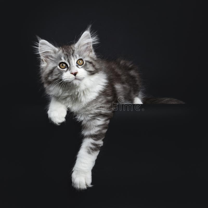 Impressive black tabby Maine Coon cat. / kitten laying isolated on black background with one paw hanging over edge and looking up royalty free stock image