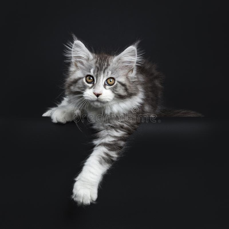 Impressive black tabby Maine Coon cat. / kitten laying isolated on black background with one paw hanging over edge and looking curiously at camera stock photography