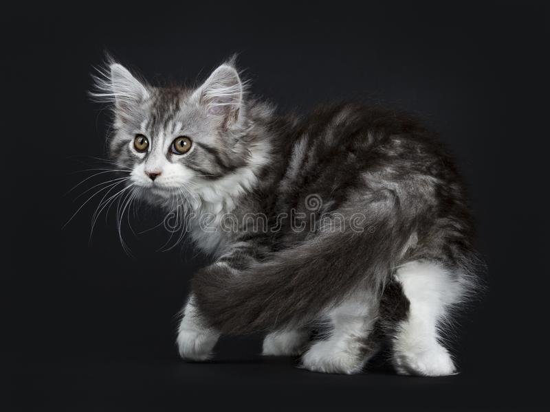 Impressive black tabby Maine Coon cat. / kitten moving / walking / turning isolated on black background royalty free stock photography