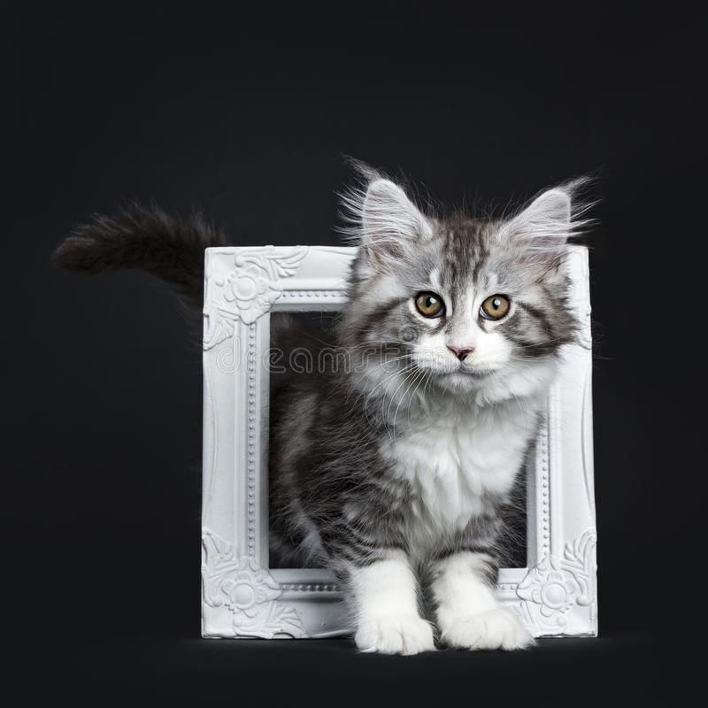 Impressive black tabby Maine Coon cat. / kitten walking through / standing in white photo frame isolated on black background looking at camera stock images