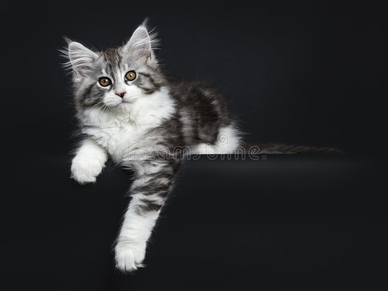 Impressive black tabby Maine Coon cat. / kitten laying isolated on black background with one paw hanging over edge and looking at camera royalty free stock photography