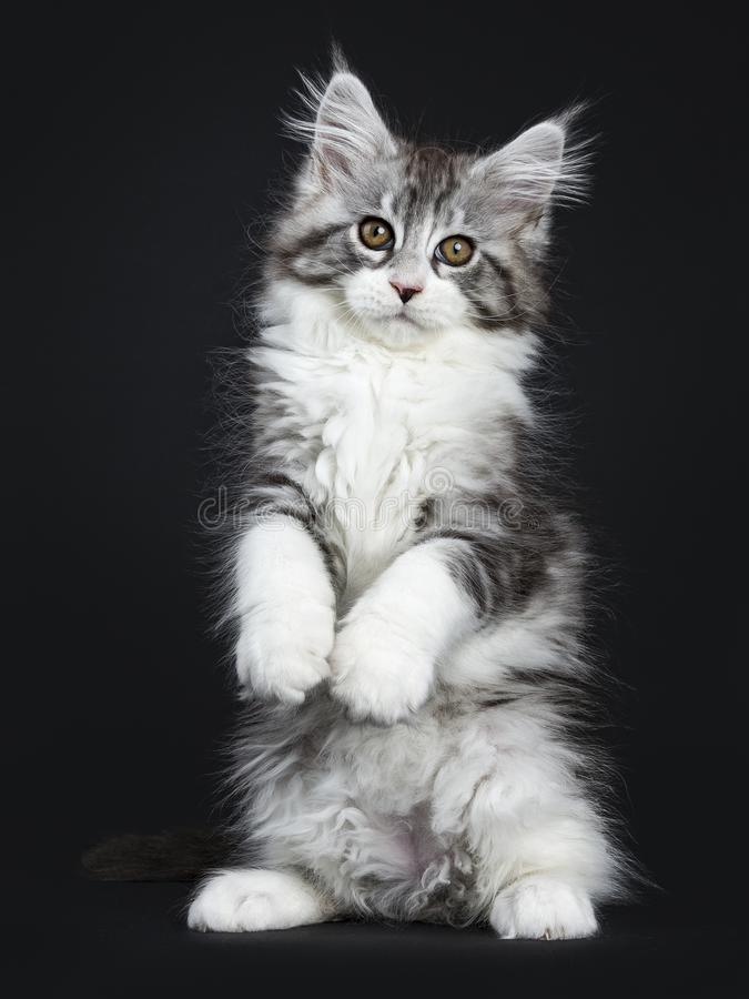 Impressive black tabby Maine Coon cat. / kitten standing on back paws isolated on black background looking at camera royalty free stock image