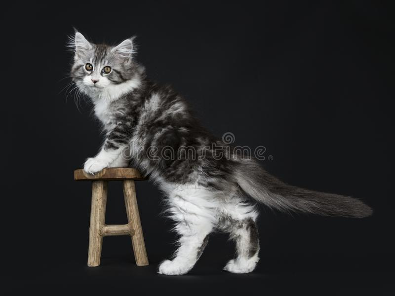 Impressive black tabby Maine Coon cat. / kitten standing with front paws on small wooden stool isolated on black background looking at lens royalty free stock images