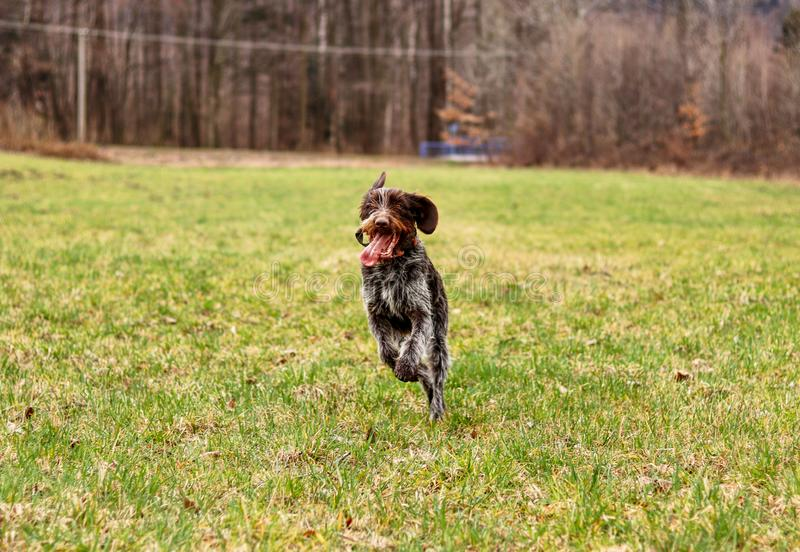 Impressive bohemian wire dog runs around meadow back and forth a very enjoy it. Brown and white fur adorn czech pointer more stock image