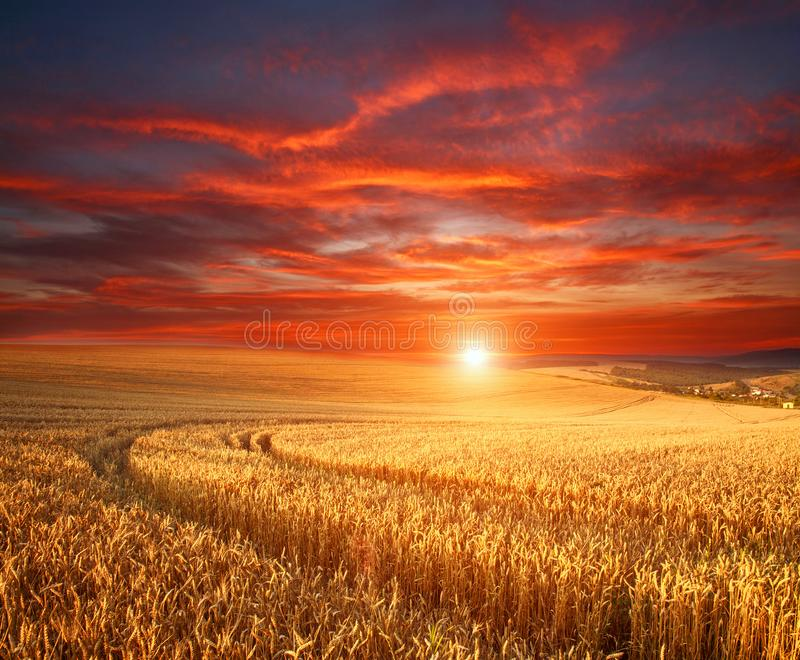 Impressive dramatic sunset over field of ripe wheat, colorful clouds in sky, crop season agricultures grain harvest. Impressive dramatic sunset over a field of stock photo
