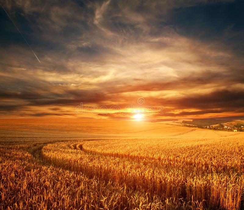 Impressive dramatic sunset over field of ripe wheat, colorful clouds in sky, crop season agricultures grain harvest. Impressive dramatic sunset over a field of royalty free stock photos