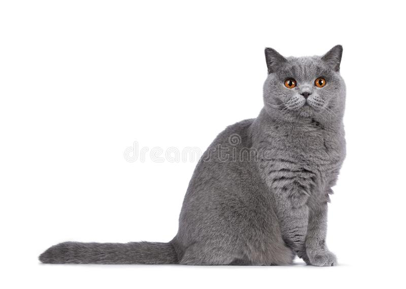 Blue female British Shorthair cat on white. Impressive light blue young adult British Shorthair female cat, sitting side ways side ways. Looking with cute head stock photos
