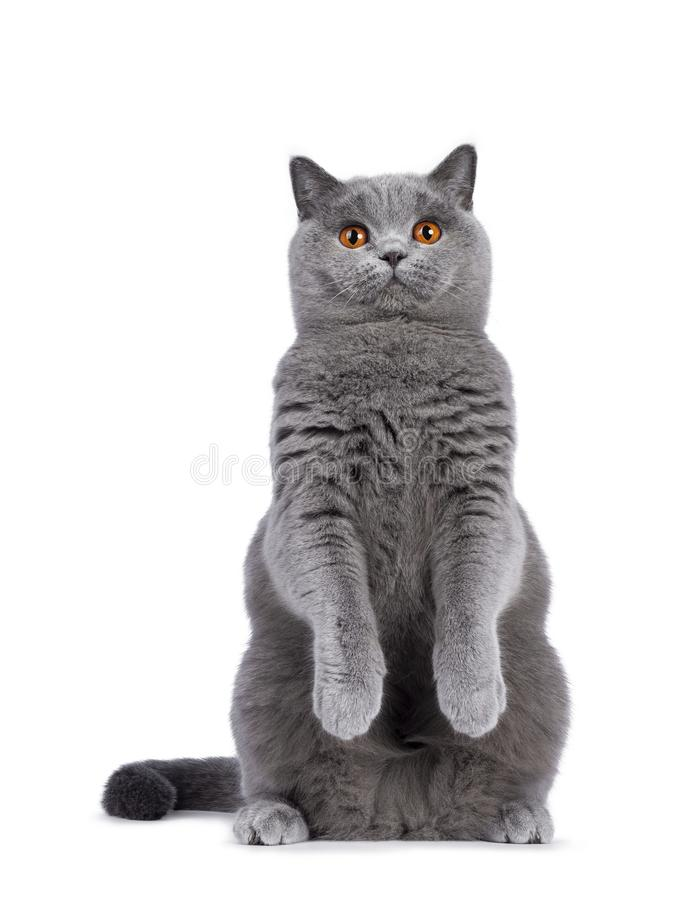 Blue female British Shorthair cat on white. Impressive light blue young adult British Shorthair female cat, sitting up on hind paws facing front like meerkat stock image