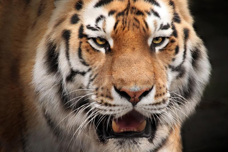 Tiger portrait. This impressive looking tiger stares with its vibrant golden eyes and shows its large teeth with a low growl royalty free stock image