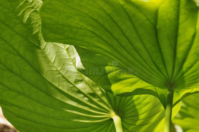 Lotus flower leaves. Impressive lotus flower leaves -american lotus - close-up ,green color gradation ,bright light ,backlight royalty free stock photo