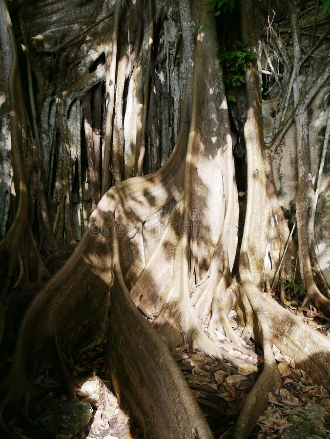 Impressive roots of a wild banyan in Guadeloupe stock photo