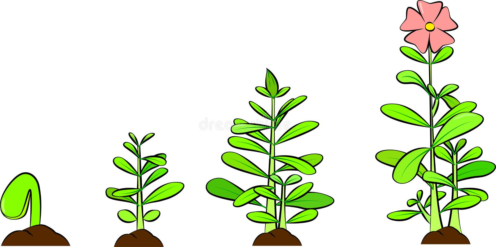 Phases of a plant growing. Vector of seed germinating on the ground. White background. Life cycle and evolution concept. royalty free illustration