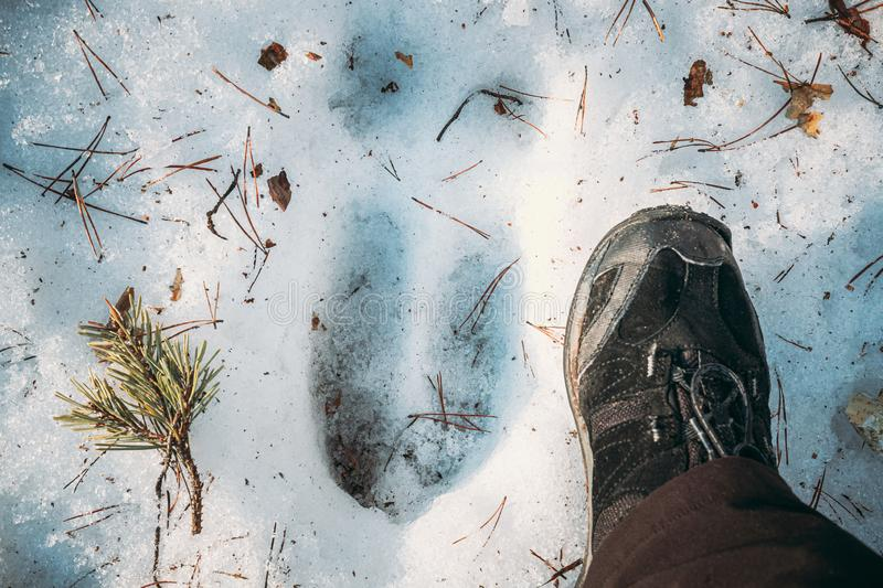 Imprint Of An Elk Trail On Snow. Comparison With Size Of A Person`s Feet. Moose Trail On Forest Ground In Winter Season. Belarus Or European Part Of Russia stock image