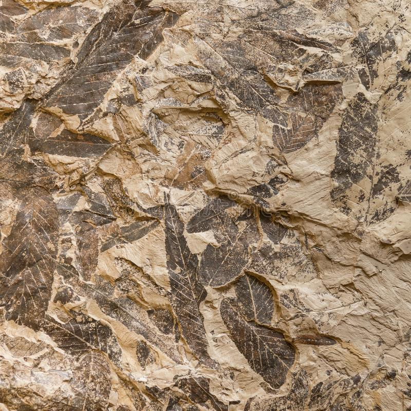 Free Imprint Of Fossil Prehistoric Plant Leaves On Stone Stock Image - 112347001