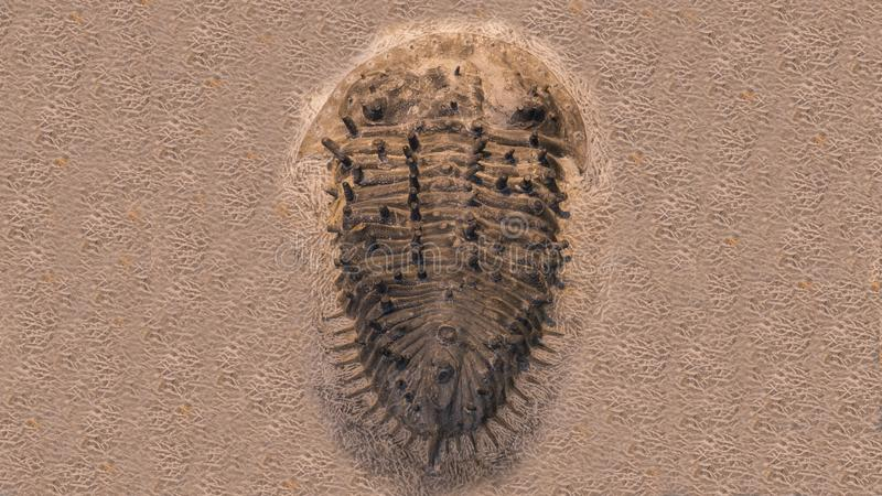 Fossil trilobites imprinted in the sediment. 4 Billion Year old Trilobite royalty free stock image