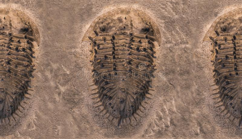 Fossil trilobites imprinted in the sediment pattern. 4 Billion Year old Trilobite royalty free stock photography