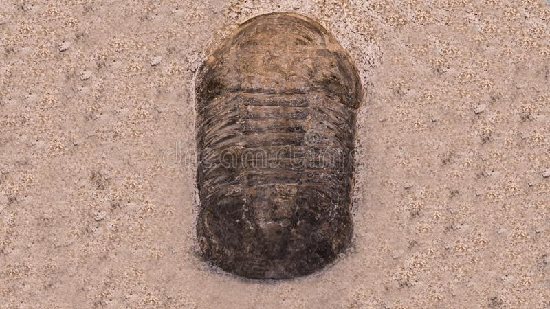 Fossil trilobites imprinted in the sediment. 4 Billion Year old Trilobite royalty free stock images