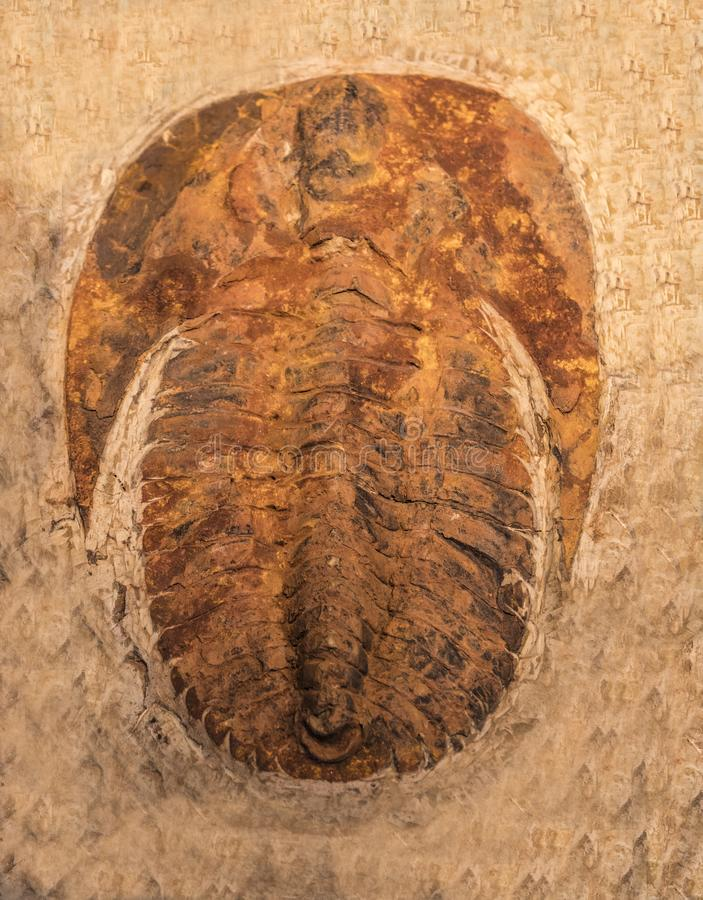 Fossil trilobites imprinted in the sediment. 4 Billion Year old Trilobite. The imprint of the trilobites in a stone. 500 million Year old Trilobite. Trilobites royalty free stock photo