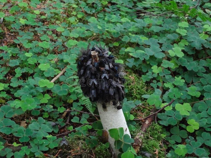 Impudicus commun de phallus de champignon de Stinkhorn image libre de droits