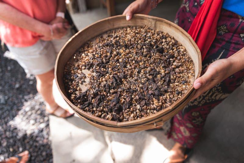 Impulso del luwak del café del Balinese y listo para clasificar para los granos de café fotos de archivo