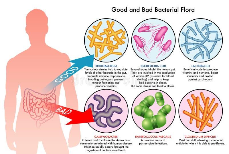 Inälvs- bakterie- flora vektor illustrationer