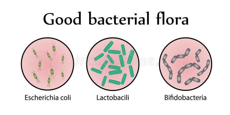 Inälvs- bakterieflora Bra bakterie- flora också vektor för coreldrawillustration royaltyfri illustrationer