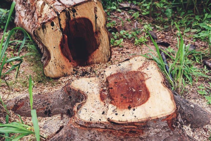 Início de uma sessão da árvore uma floresta - conceito do desflorestamento com um coto de árvore em uma natureza imagens de stock