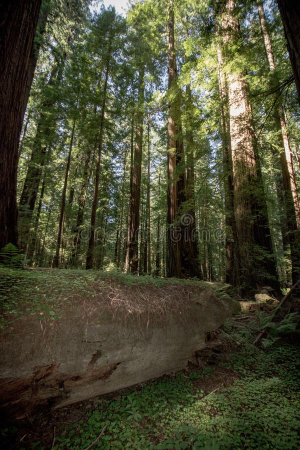 Início de uma sessão gigante da árvore um bosque da floresta de árvores da sequoia vermelha no parque nacional Califórnia da sequ foto de stock royalty free
