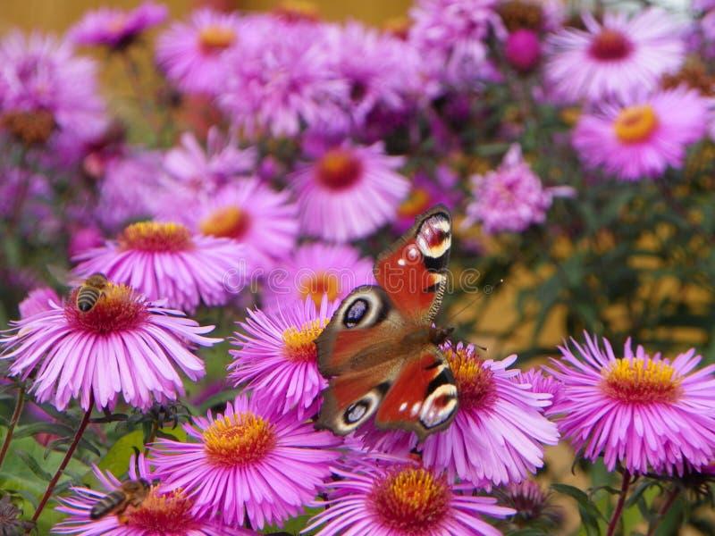 Inachis in den Blumen stockfoto