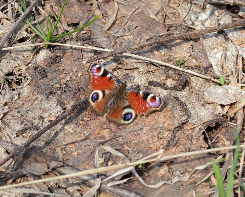 Inachis europeu colorido io da borboleta de pavão, Aglais io na terra, fundo macio Feche acima, macro foto de stock
