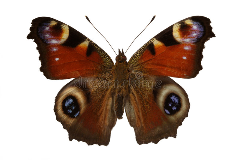 Inachis io (butterfly) royalty free stock photo
