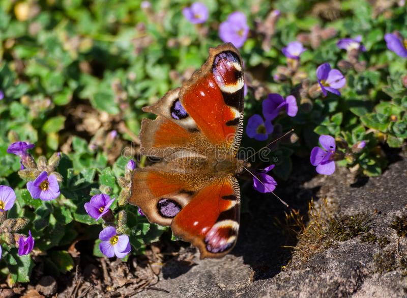 Inachis io, butterfly with wings shades red-brown. Red-brown, sit small lilac flowers, feeds, lit by sunlight, natural conditions nature, against background of royalty free stock photography