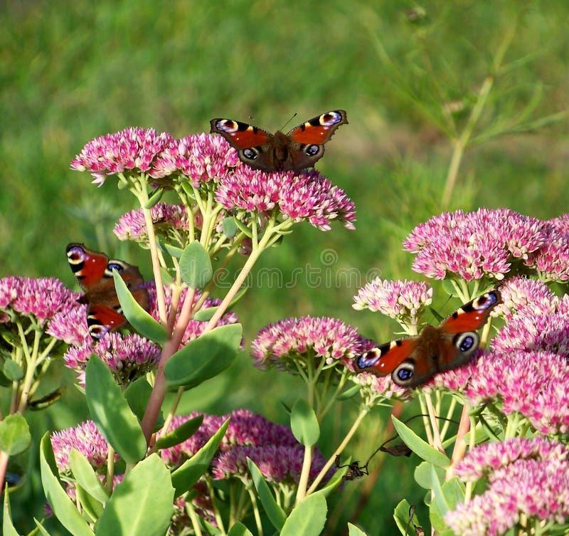 Inachis io butterflys stock afbeeldingen