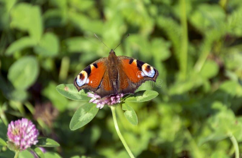 Inachis io, Nymphalidae motyli obsiadanie w łące na flo obrazy royalty free