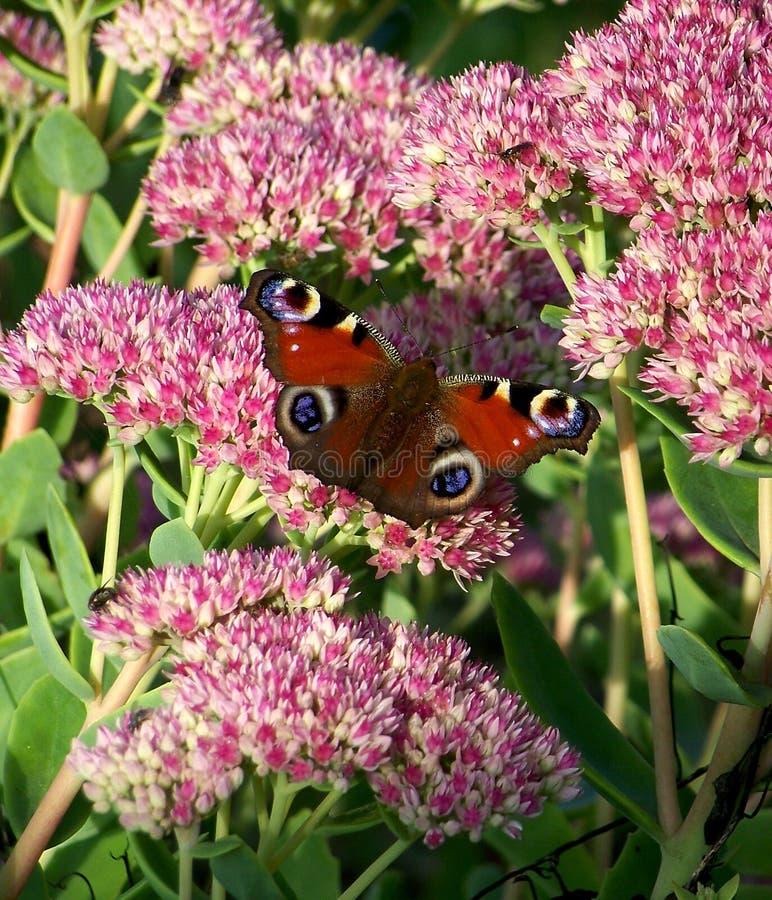 Inachis io vlinder stock foto's