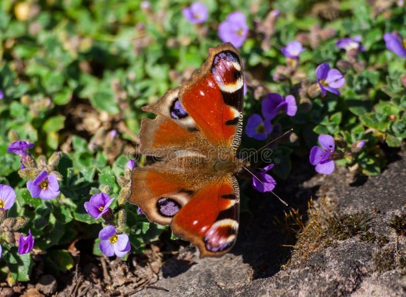 Inachisen io, fjäril med vingar skuggar röd-brunt royaltyfri fotografi