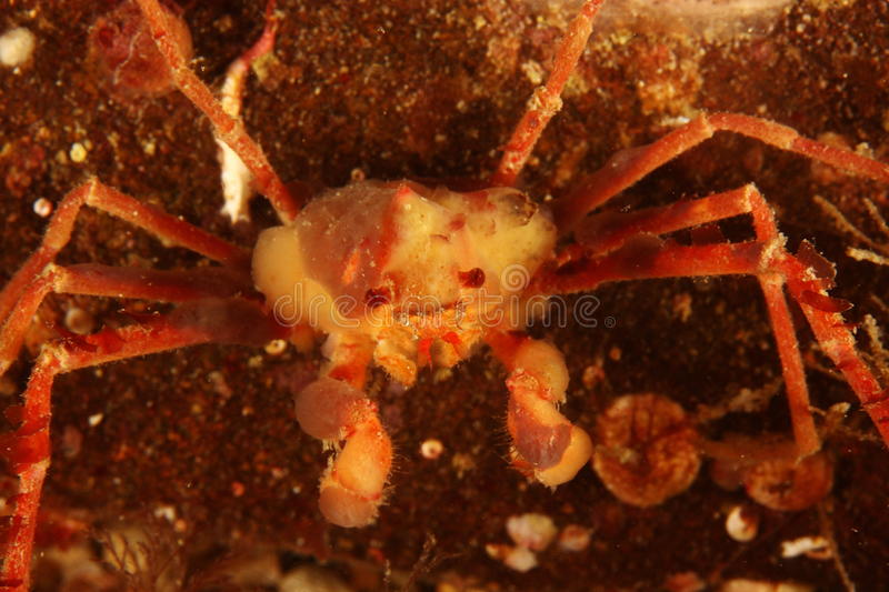 Inachus - Anemone Crab Royalty Free Stock Images