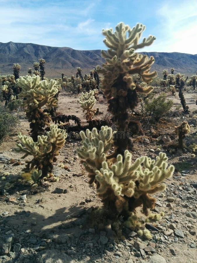 Inaczej sklejonego cholla skokowi kaktusy w Joshua drzewa parku narodowym obraz stock