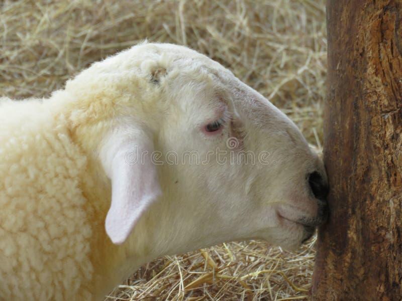 Inalazione dell'odore delle capre fotografie stock libere da diritti