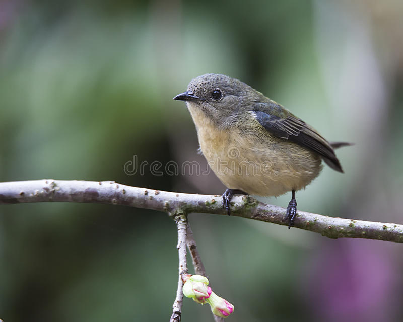 Incêndio-breasted Flowerpecker fotografia de stock royalty free