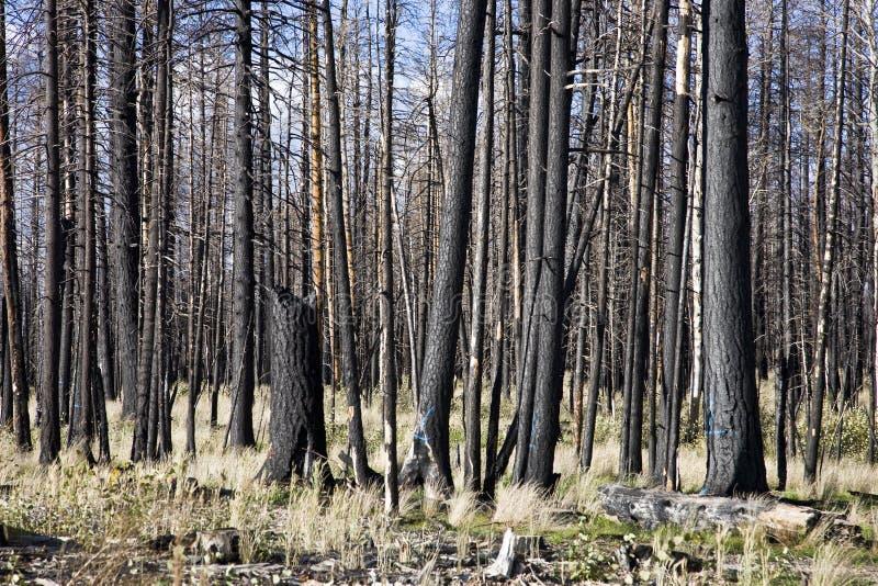 Incêndio florestal (AO) imagem de stock